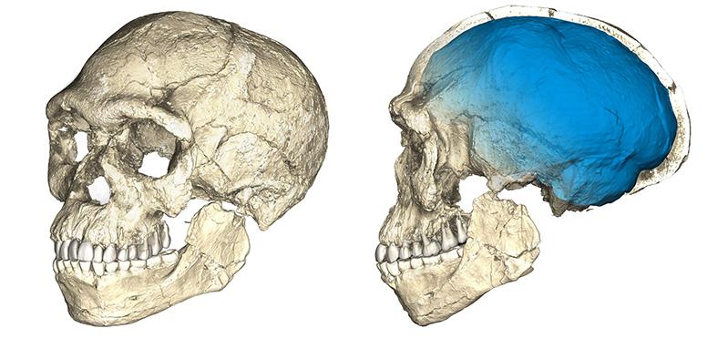 Duas visualizações da reconstrução do fóssil mais antigo conhecido do Homo sapiens, baseado em microtomografias computadorizadas de diversos fósseis originais encontrados em Jebel Irhoud (Marrocos).